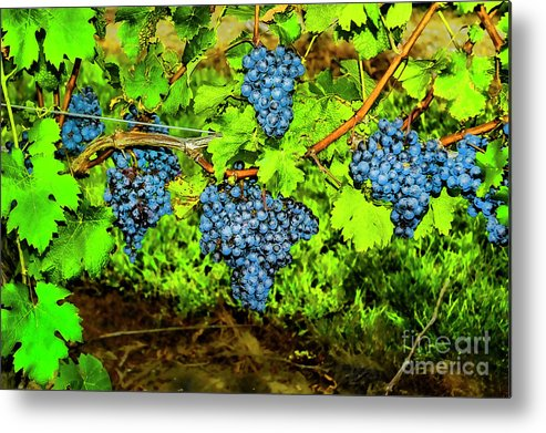 Grapes Wineries Rhode Island Metal Print featuring the photograph Lucious Grapes by Rick Bragan