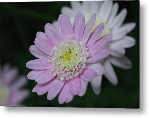 Flower Metal Print featuring the photograph Morning Light by Paul Slebodnick