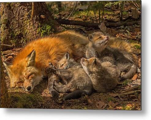 Red Fox Metal Print featuring the photograph Mother Fox And Her Kits by Steve Dunsford