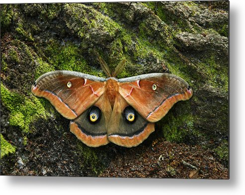 Moth Metal Print featuring the photograph Natures Eyes by David Paul Murray
