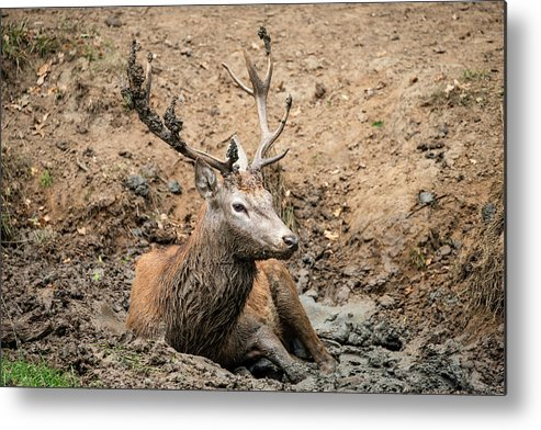 Red Metal Print featuring the photograph Red Deer Stag Cervus Elaphus Takes A Mudbath To Cool Down On Aut by Matthew Gibson