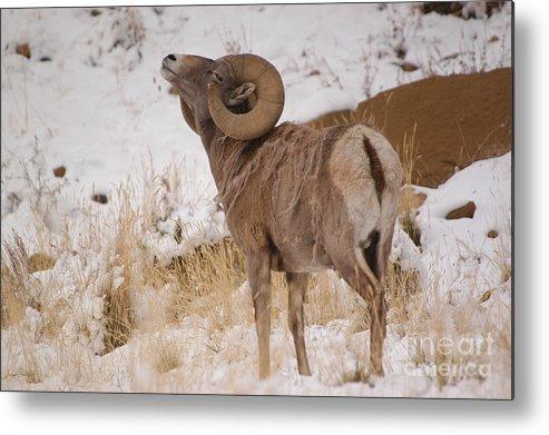 Big Horn Sheep Metal Print featuring the photograph Rocky Mtn.big Horns by Greg Payne
