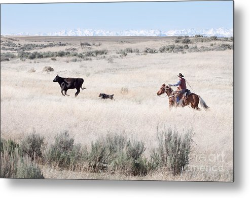 Cowboy Metal Print featuring the photograph Round Up by Cindy Singleton