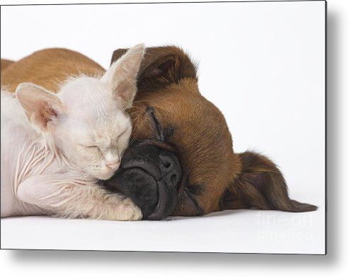 Cat Metal Print featuring the photograph Small Brabant Griffon, Petit Brabancon, Puppy Dog With Laperm Kitten by Mary Evans Picture Library