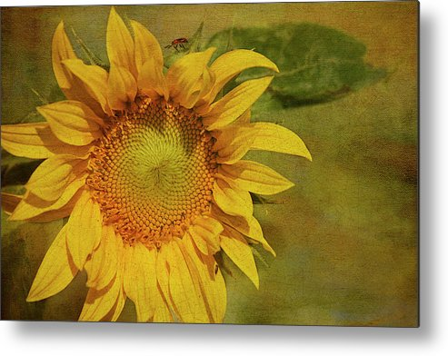 Sunflower Metal Print featuring the photograph Sunflower by Cindi Ressler