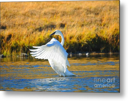 Birds Metal Print featuring the photograph Swan by Greg Payne