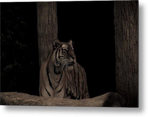 Tiger Metal Print featuring the photograph Tiger by Matt Steffen