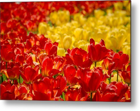 Canada Metal Print featuring the photograph Tulips At Ottawa Tulips Festival by Aqnus Febriyant