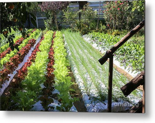Food Metal Print featuring the photograph Vegetable Garden by Oren Shalev
