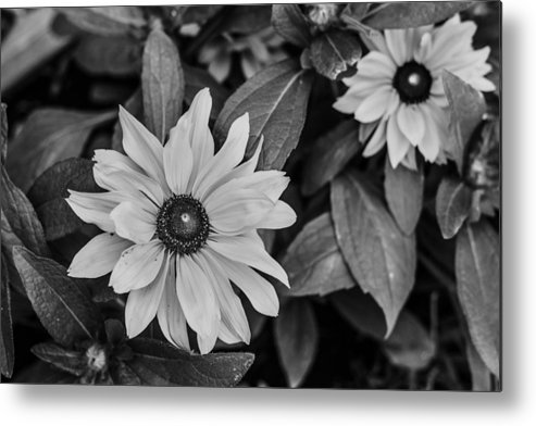Sunflower Metal Print featuring the photograph White Flower Beauty by Nersing Pradhan
