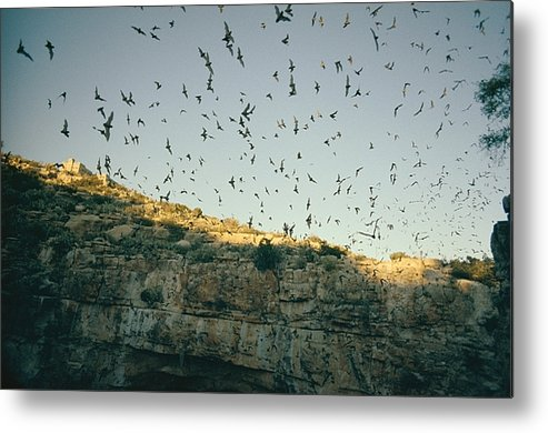 Mexican Free Tailed Bats Metal Print featuring the photograph Untitled by Walter Meayers Edwards