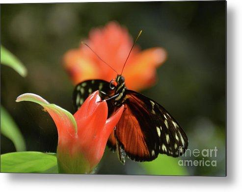 Butterflies Metal Print featuring the photograph Red Beauty by Jann Denlinger