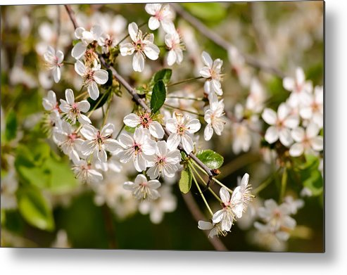 Beauty Metal Print featuring the photograph Cherry Flowers by Alain De Maximy