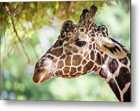 Giraffe Metal Print featuring the photograph Giraffe Feeding On Green Leaves Of Lettuce by Alex Grichenko
