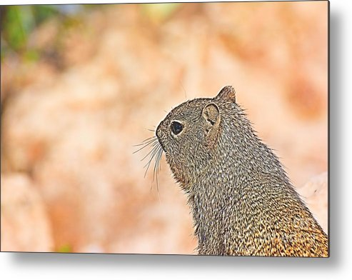 Squirrels Metal Print featuring the photograph Grand Canyon Experience Series by Berta Keeney