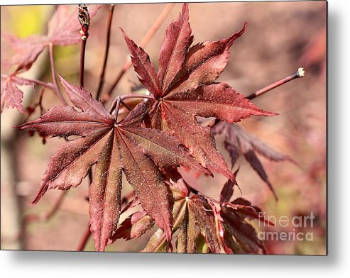 Japanese Maple Metal Print featuring the photograph Japanese Maple by David Bearden