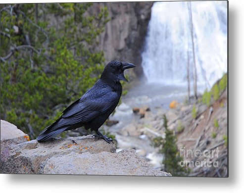 Bird Metal Print featuring the photograph Raven by Dennis Hammer