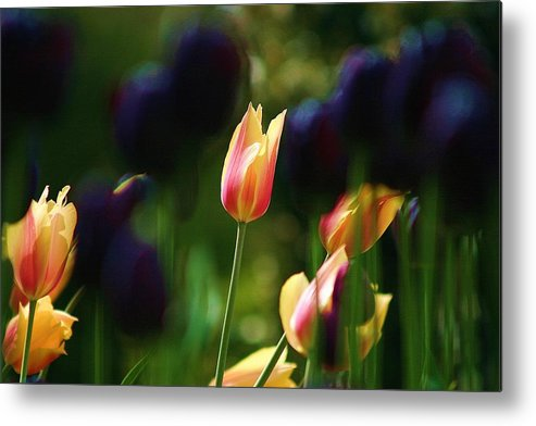 Tulips Metal Print featuring the photograph Tulips by Martina Fagan