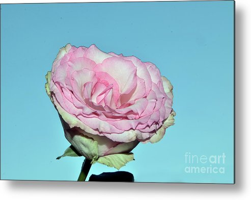 Flowers Metal Print featuring the photograph Beautiful Rose by Elvira Ladocki