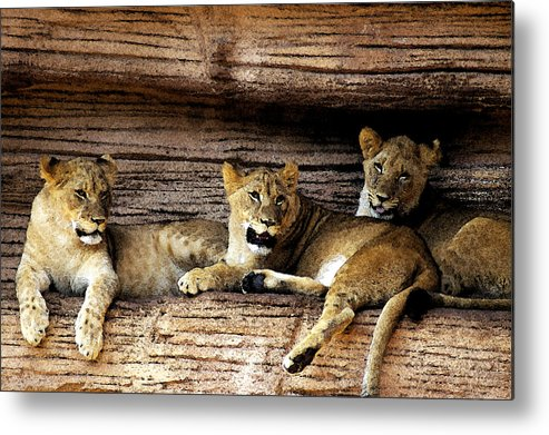 Lion Metal Print featuring the digital art 3 Cubs by Don Prioleau
