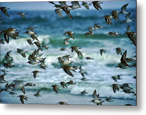 Shorebirds Metal Print featuring the photograph Shorebirds by Mary Frances