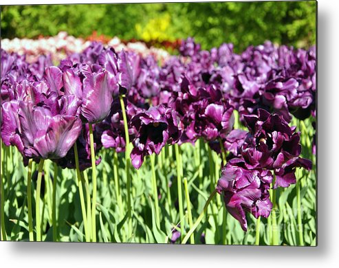 Tulip Metal Print featuring the photograph Tulips by LS Photography