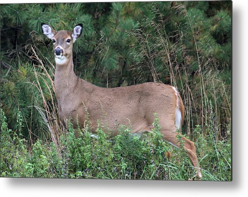 White Tail Deer Metal Print featuring the photograph White Tailed Deer Calverton New York by Bob Savage