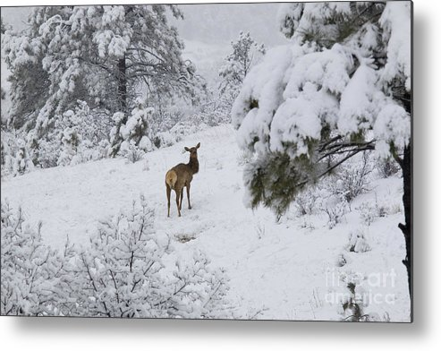 Elk Metal Print featuring the photograph Elk In Deep Snow In The Pike National Forest by Steve Krull