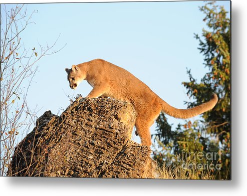 Mountain Lion Metal Print featuring the photograph Mountain Lion by Dennis Hammer