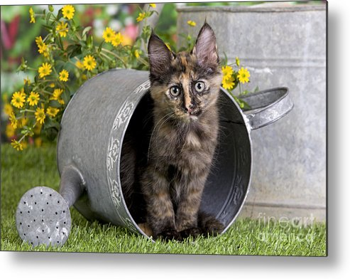 5a205c6955 Cat Metal Print featuring the photograph Turkish Angora Kitten by Jean-Michel  Labat. Wall View 001