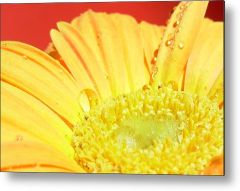 Gerbera Photographs Photographs Photographs Metal Print featuring the photograph 4173-001 by Kimberlie Gerner