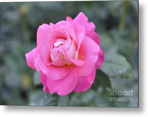 Rose Metal Print featuring the photograph Roses by LS Photography