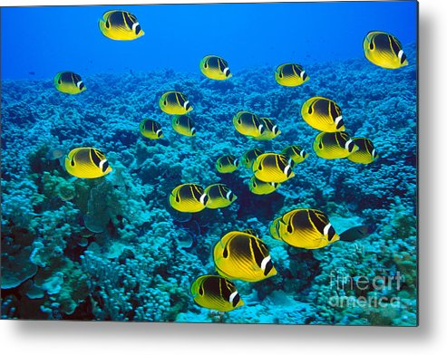 Animal Art Metal Print featuring the photograph Raccoon Butterflyfish by Dave Fleetham - Printscapes