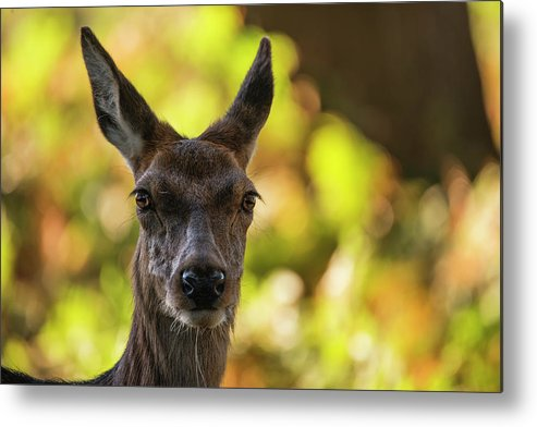 Red Metal Print featuring the photograph Stunning Hind Doe Red Deer Cervus Elaphus In Dappled Sunlight Fo by Matthew Gibson