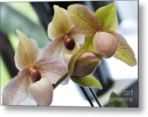 Orchid Metal Print featuring the photograph Orchids by LS Photography