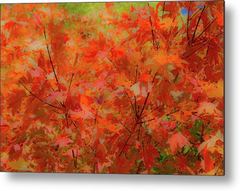 Maple Metal Print featuring the photograph A Bit Of Red by Peter Bouman