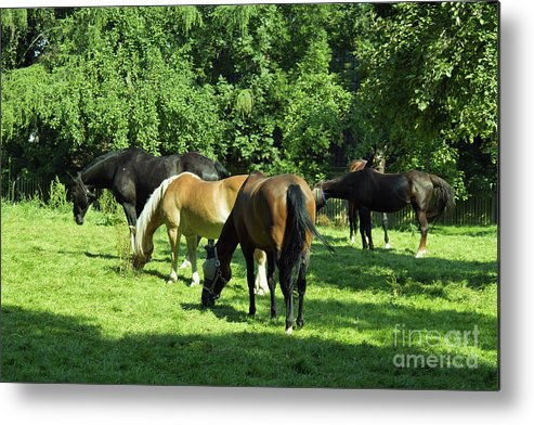 Couple Metal Print featuring the photograph A Couple Of Horses by Pit Hermann