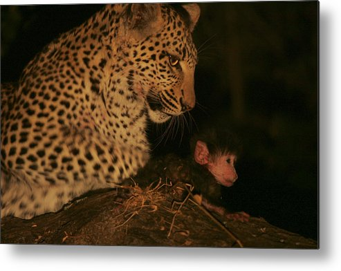 Okavango Delta Metal Print featuring the photograph A Day-old Baboon Befriends A Young by Beverly Joubert