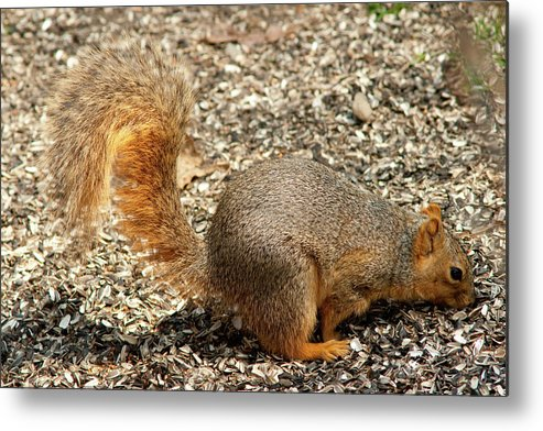 Animal Metal Print featuring the photograph A Fine Tail by Craig Hosterman