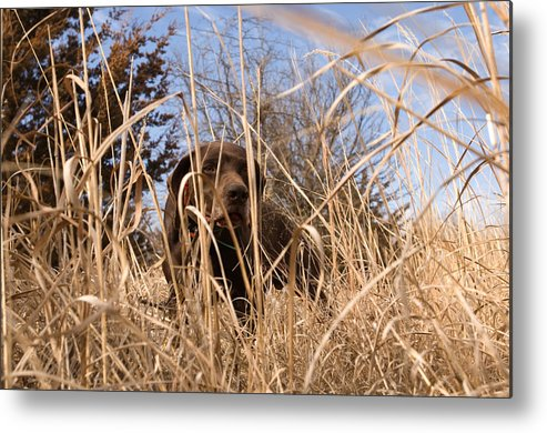 Photography Metal Print featuring the photograph A German Shetland Searches For Pheasant by Joel Sartore