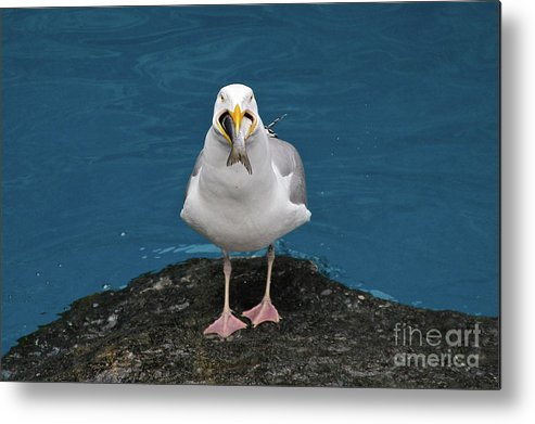 Gull Metal Print featuring the photograph A Mouth Full by Rick Monyahan
