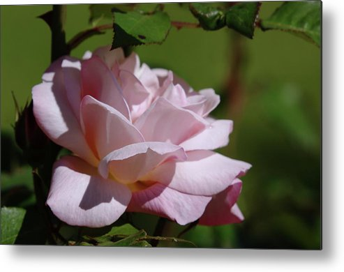 Roses Metal Print featuring the photograph A Pink Rose by Jeff Swan