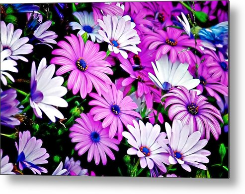 Flowers Metal Print featuring the photograph African Daisies - Arctotis Stoechadifolia by Christine Till