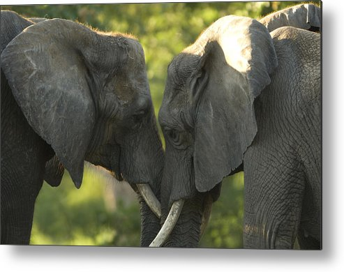 Photography Metal Print featuring the photograph African Elephants Loxodonta Africana by Joel Sartore