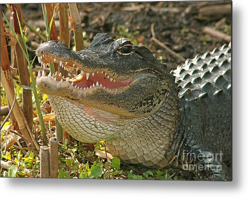 Alligator Metal Print featuring the photograph Alligator Showing Its Teeth by Max Allen