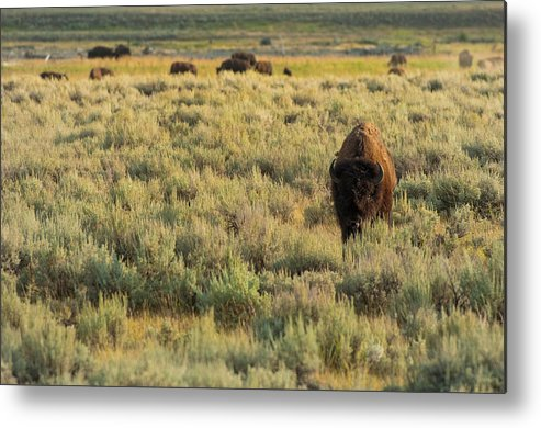 American Bison Metal Print featuring the photograph American Bison by Sebastian Musial