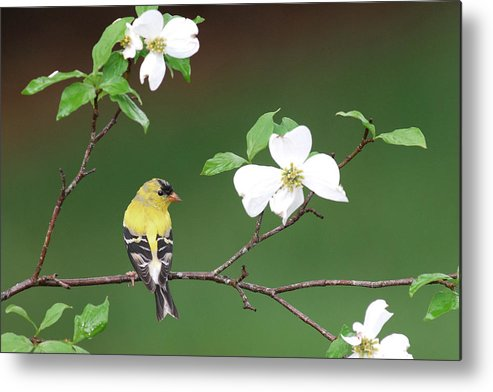 Goldfinch Metal Print featuring the photograph American Goldfinch In Dogwood by Alan Lenk
