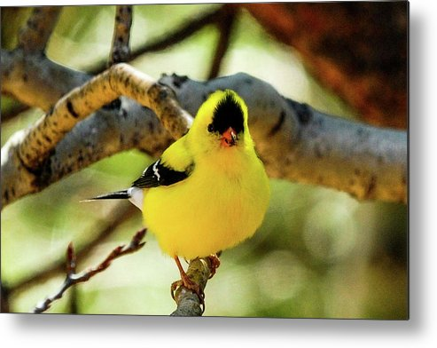 Colorado Metal Print featuring the photograph American Goldfinch On Aspen by Marilyn Burton