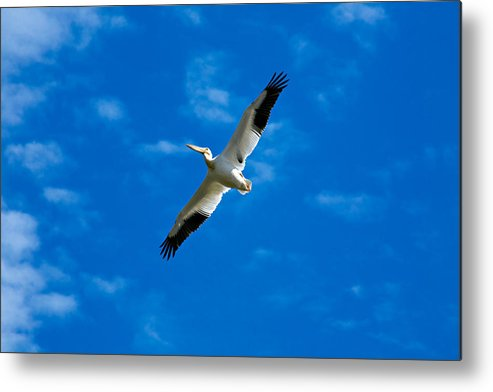 American Metal Print featuring the photograph American White Pelican by Marilyn Hunt