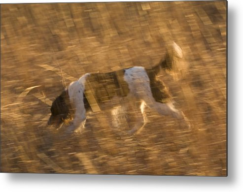 Nobody Metal Print featuring the photograph An English Springer Spaniel Points by Joel Sartore